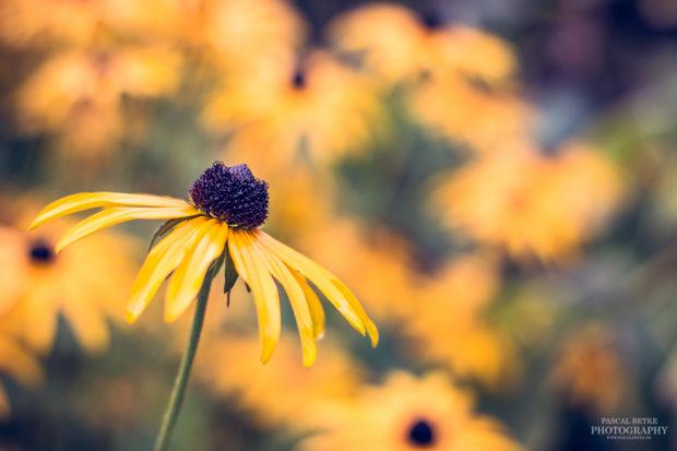 Rudbeckia Blume